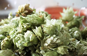 Hops in brewing
